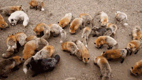 Un sat…plin de vulpi fermecătoare – N-AI MAI VAZUT AȘA CEVA!