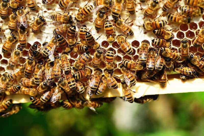 De ce mor albinele? Einstein a prezis că dacă dispar, dispărem și noi odată cu ele!
